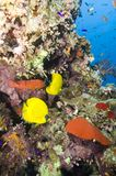 korala ryba rafa tropikalna Fotografia Stock