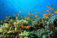 korala ryba rafa tropikalna Zdjęcia Stock