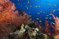 korala rybia oceanu miękka część Fotografia Stock