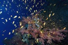 korala rybia oceanu miękka część Zdjęcia Stock