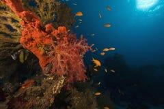korala rybia oceanu miękka część Zdjęcie Royalty Free