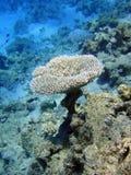 korala stół Obrazy Stock