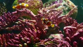Korale i egzotyczna morska ryba zbiory wideo