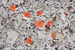 Korale i kwiaty, Sri Lanka, sept 2014 Obrazy Royalty Free