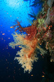 korale miękcy Obraz Stock