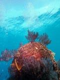 Korale przy morzem Cortez Obrazy Royalty Free