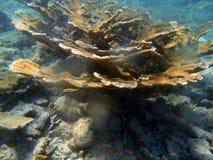 Korale w karaibskim Fotografia Stock