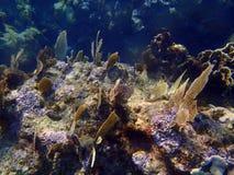 Korale w karaibskim Zdjęcie Royalty Free
