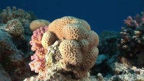 Koralen in de vorm van bal op onderwaterlandschap als achtergrond in Rode overzees stock footage