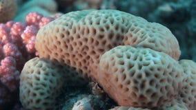 Koralen in de vorm van gebied in Rode overzees stock footage