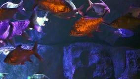 Koralen en exotische mariene vissen stock video