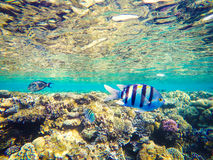 Koralen en vissen in het Rode Overzees, Egypte Onderzeese wereld Gestreepte vissen in de voorgrond Royalty-vrije Stock Fotografie