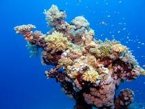 Koralen in het Rode Overzees Royalty-vrije Stock Afbeeldingen