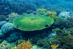 Koralen onderwater en tropische vissen in de Indische Oceaan Stock Afbeelding
