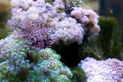 Koralenertsader en sponsen in een aquarium Stock Fotografie