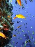 koraliku rafa ryb Obrazy Royalty Free