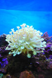 korall Arkivfoto