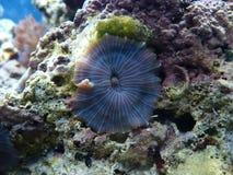 Korall Royaltyfria Bilder