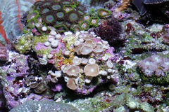 korall Arkivbilder
