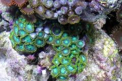 korall Royaltyfri Foto