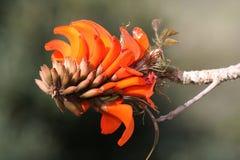 korall blommar treen arkivfoto