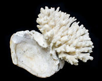Korall för hav för Staghorn korall eller Acropora Arkivbilder