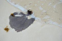 Korall för marin- djur för Venus fanGorgonia flabellum som mjuk är urtvättad på kust i Kuba Royaltyfri Bild