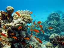 korall fiskar den orange reven Arkivfoto