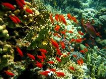 korall fiskar det orange revstimet Arkivfoto