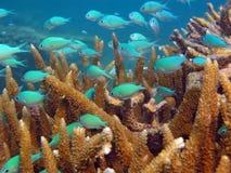 korall fiskar nederlag Royaltyfria Bilder