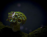 Korall i marin- akvarium Fotografering för Bildbyråer