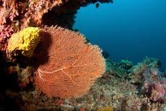 Korall i Sudan Arkivbild