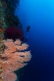 Korall och en dykare i bakgrund Arkivbild