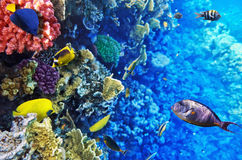 Korall och fisk i den röda Sea.Egypten Arkivfoton