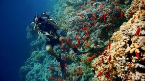 Korall och fisk i Röda havet, Egypten arkivfilmer