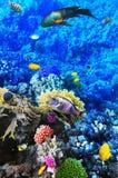 Korall och fisk i Röda havet. Egypten Afrika. Arkivbild