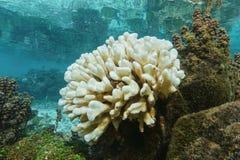 Korall som tack vare bleker El Nino French Polynesia Royaltyfri Fotografi