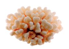 korall torkad isolerad white Royaltyfri Bild