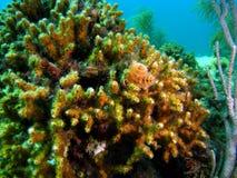 korallbildande Royaltyfria Foton