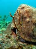 korallbrand Arkivbilder