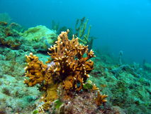 korallbrand Arkivfoton