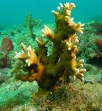 korallbrand Arkivbild