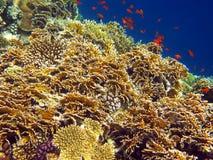 korallbrand förtjänar Royaltyfria Foton