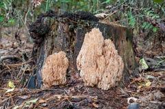 Korallchampinjon (Hericium coralloides) som växer på det gamla trädet I Arkivbild