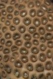 koralldetaljgummi Arkivfoto