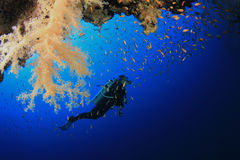 koralldykare undersöker revscubaen Arkivbild