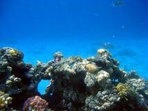 Koralle Lizenzfreie Stockfotos