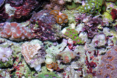 koralle Stockfotografie