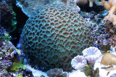 koralle Lizenzfreies Stockfoto