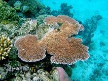 Koralle auf dem Riff Stockfoto